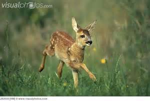 Roe Deer Fawn - loves Life!