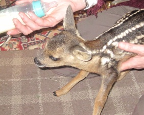 Abandoned Roe Deer being Nurtured