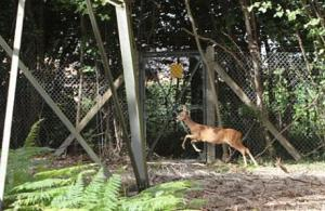 RSPCA walk trapped roe deer out of fences