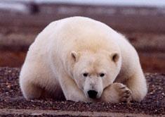 polar bear on dirt USFWS