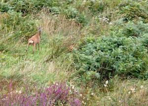 Roe deer, Moorcide