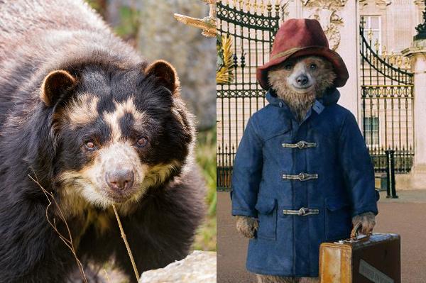 spectacled-bear-paddington.jpg